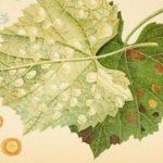 Zaštita od plamenjače kod paradajza, krompira, vinove loze