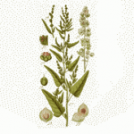 Loboda biljka uzgoj recepti