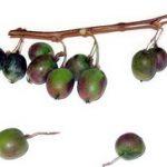 Sibirski kivi uzgoj sadnice cena