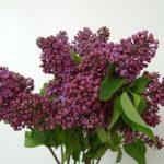 Jorgovan sadnja vrste i lekovita svojstva
