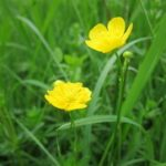 Žabnjak ljutić biljka – Ranunculus