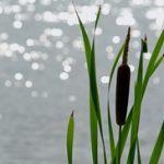 Rogoz biljka gde raste upotreba slike