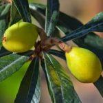 Japanska mušmula – nešpula voće uzgoj plod razmnožavaje slike