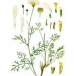 Dalmatinski buhač biljka kao insekticid i repelent