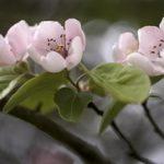 Prirodni lek protiv proliva: Čaj od lista dunje priprema i upotreba