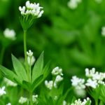 Lazarkinja biljka upotreba – čaj od lazarkinje kao lek
