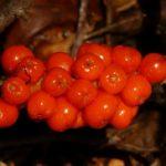Biljka kozlac kao lek – zmijsko grožđe