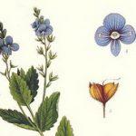 Biljka veronika ili čestoslavica čaj tinktura šta leči