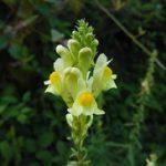 Lanilist biljka (Linaria vulgaris) – čaj od lanilista, linaria krema