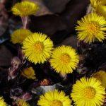Podbel biljka za zaustavljanje kašalja, čišćenje pluća i lečenje astme – čaj od podbela