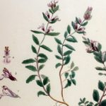 Podubica biljka – čaj od podubice za želudac tinktura i vino