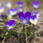 Dan i noć cveće i čaj– ukrasno i lekovito bilje – Viola tricolor