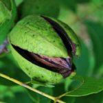 Pekan orah uzgoj gde kupiti i kako se koristi
