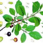 Krušina biljka – čaj od krušine kore
