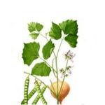 Meksički krompir – Jicama povrće – kako izgleda, slike, gde kupiti