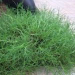 Maslinova trava (Santolina viridis)