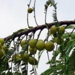 Indijski ogrozd voće – kako se koristi amla prah