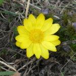 Gorocvet biljka (Adonis vernalis) za srce – stanište lekovitost čaj