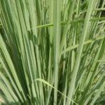 Limunova trava uzgoj kako se koristi čaj ulje i protiv insekata