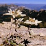 Planinski runolist biljka karakteristike stanište i lekovitost