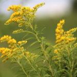Lekovita zlatnica: Čaj od zlatnice rešava urinarne probleme