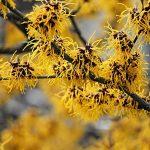 Hamamelis biljka (veštičji lešnik) – voda tonik krema