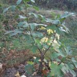 Kako zaštititi smokvu od izmrzavanja preko zime