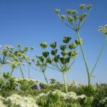 Lekovite biljke za potenciju i muško zdravlje