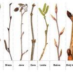 Prepoznavanje listopadnog drveća na osnovu grančica i pupova