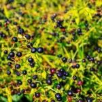 Broć biljka (Rubia tinctorum)