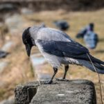 Kako vrane razbijaju orahe i kradu nakit