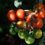 Ljuske od jajeta protiv truleži plodova paradajza i paprike