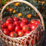 Ove biljke treba posaditi pored paradajza za ukusnije plodove i protiv štetočina