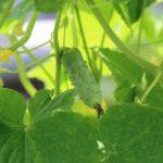 Vertikalni uzgoj krastavca na mreži