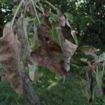 Hitna zaštita voća od monilije. Prskanje sodom bikarbonom i evo još koja sredstva treba primeniti