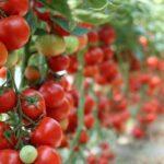 Kako paradajz raste naopako. Nova metoda u baštovanstvu