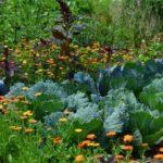 Ove biljke štite povrće od štetočina. Mešovita sadnja povrća, lekovitog bilja i cveća
