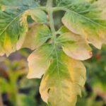 Zašto žute listovi na voću, povrću i cveću